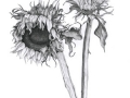 """""""Duel Sunflowers"""" by Angelene Perry - Graphite A3"""