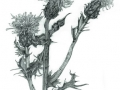 """""""Scottish Knapweed"""" by Angelene Perry - Graphite A3"""