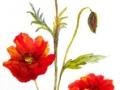 """Red Poppy"" by Margaret Robertson"