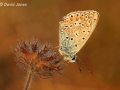 """Common Blue Butterfly"" by David Jones"