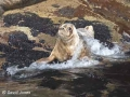 """Grey Seal in Wave"" by David Jones"