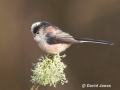 """Long-tailed Tit"" by David Jones"