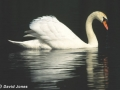 """Mute Swan"" by David Jones"