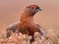"""Red Grouse Male Portrait"" by David Jones"
