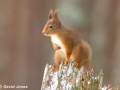 """Red Squirrel on Stump"" by David Jones"