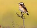 """Whinchat Male"" by David Jones"