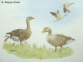 """""""Graylag geese ready to fly north"""" by Maggie Bowie"""