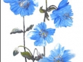 """Blue poppy"" by Margaret Robertson"