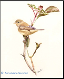 """Willow Warbler on Elderberry"" by Anne-Marie Marshall"