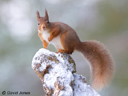 """Red Squirrel"" by David Jones"