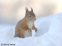 """Red Squirrel in Snow"" by David Jones"