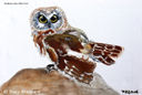 """Northern Saw-Whet Owl"" by Tracy Sheppard"