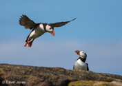 """Puffin Coming in to Land"" by David Jones"